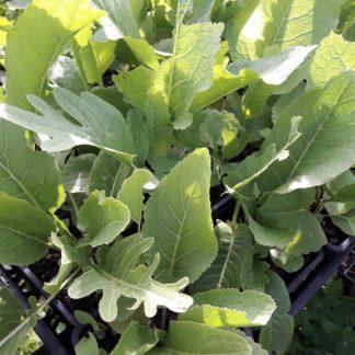 horseradish-plants-kahikatea-farm