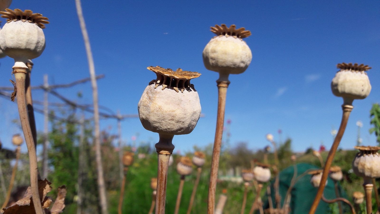 kahikatea-farm-breadseed-poppy