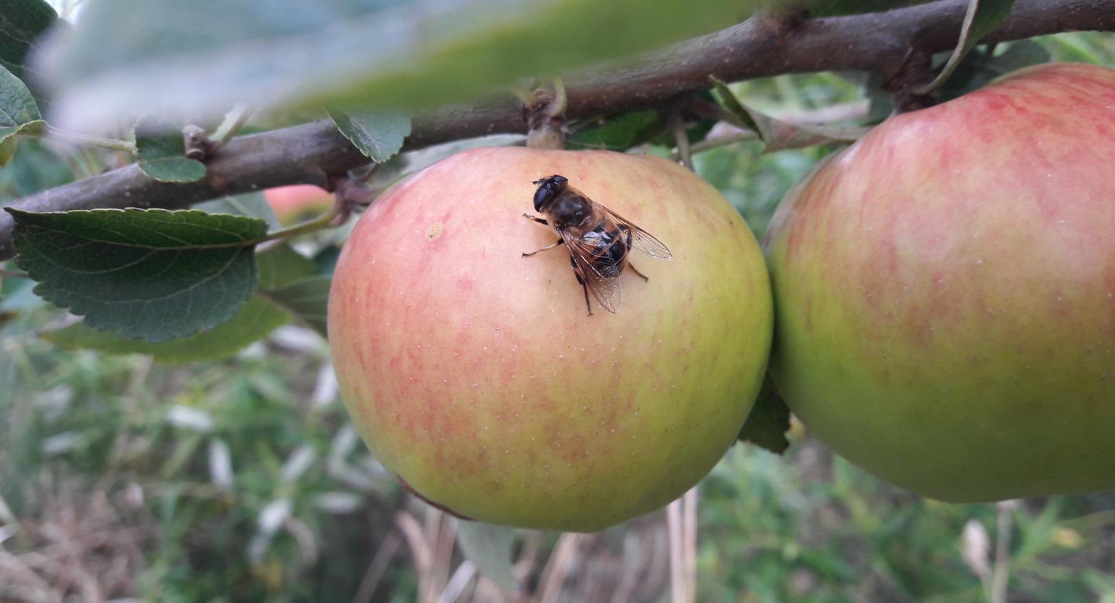 kahikatea-farm-food-forest-bee-on-apple