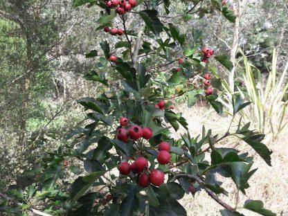 kahikatea-farm-food-forest-hawthorn