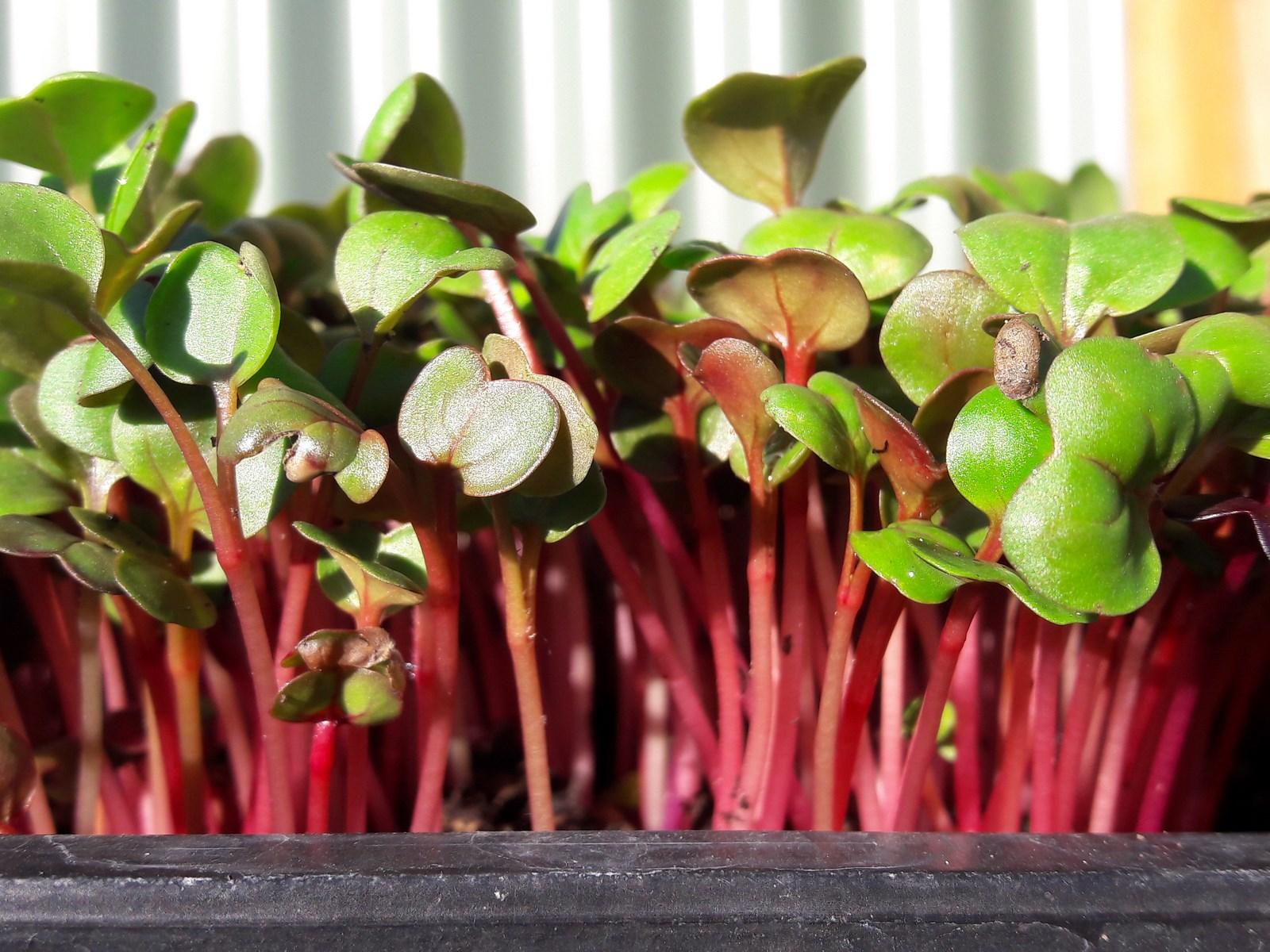 kahikatea-farm-microgreens radish rose