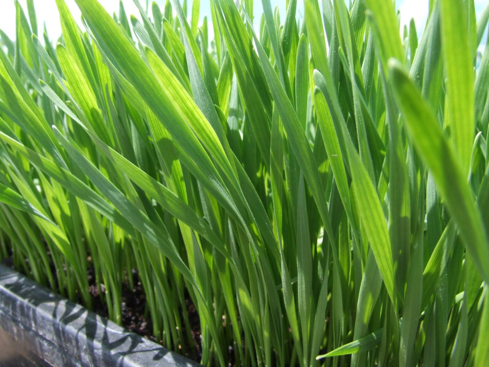 kahikatea-farm-microgreens-wheatgrass