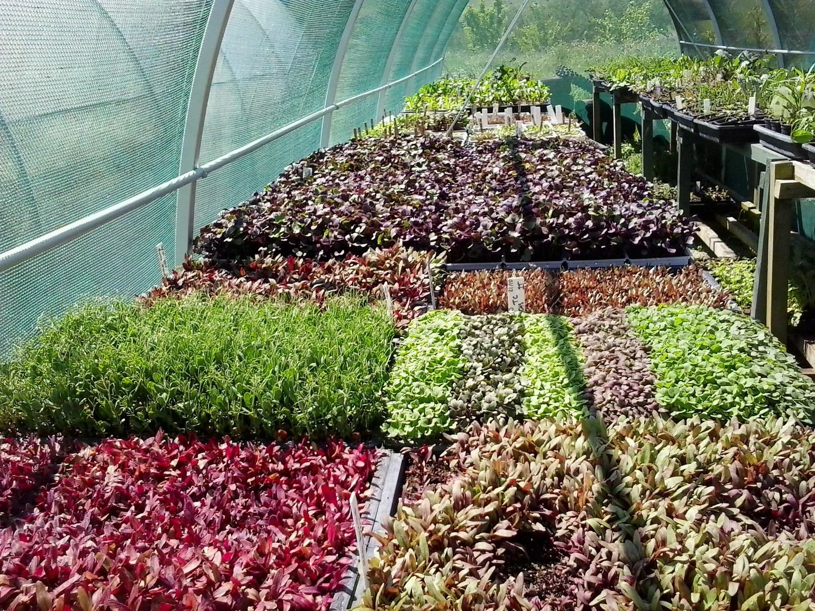 kahikatea-farm-microgreens