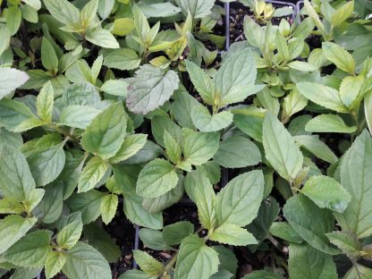 kahikatea-farm-nursery-figwort
