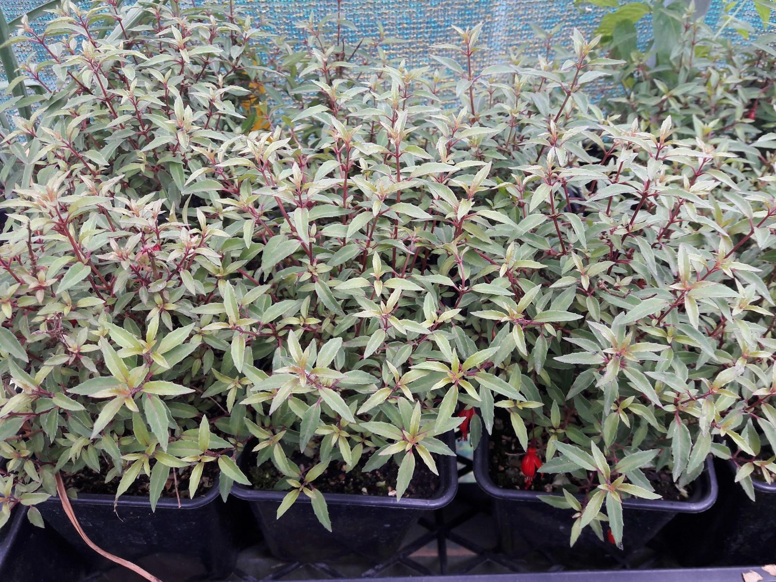 kahikatea-farm-nursery-plants