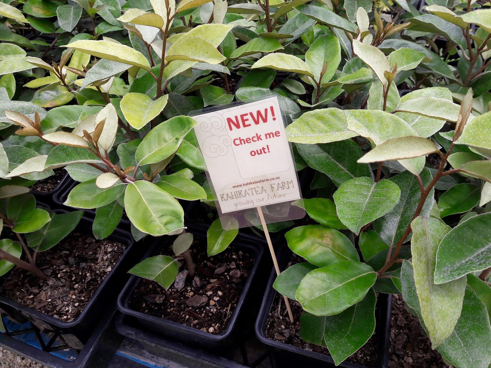 kahikatea-farm-nursery-silverberry