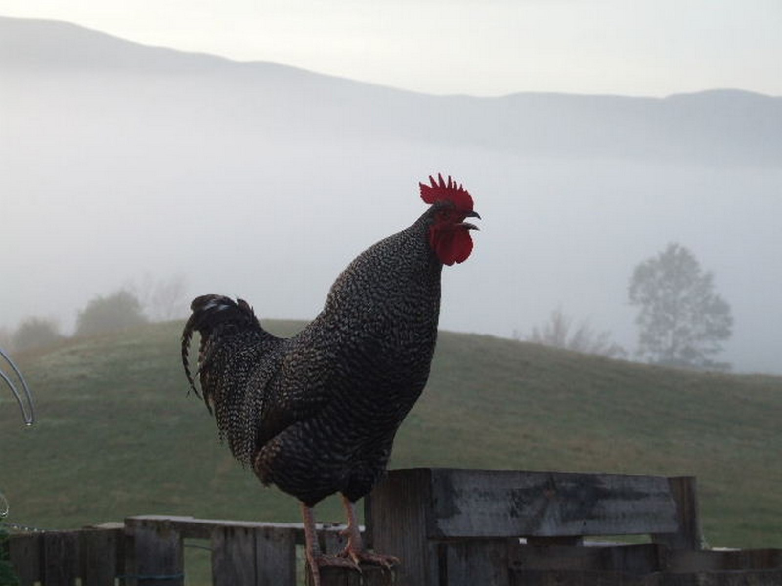 kahikatea-farm-rooster