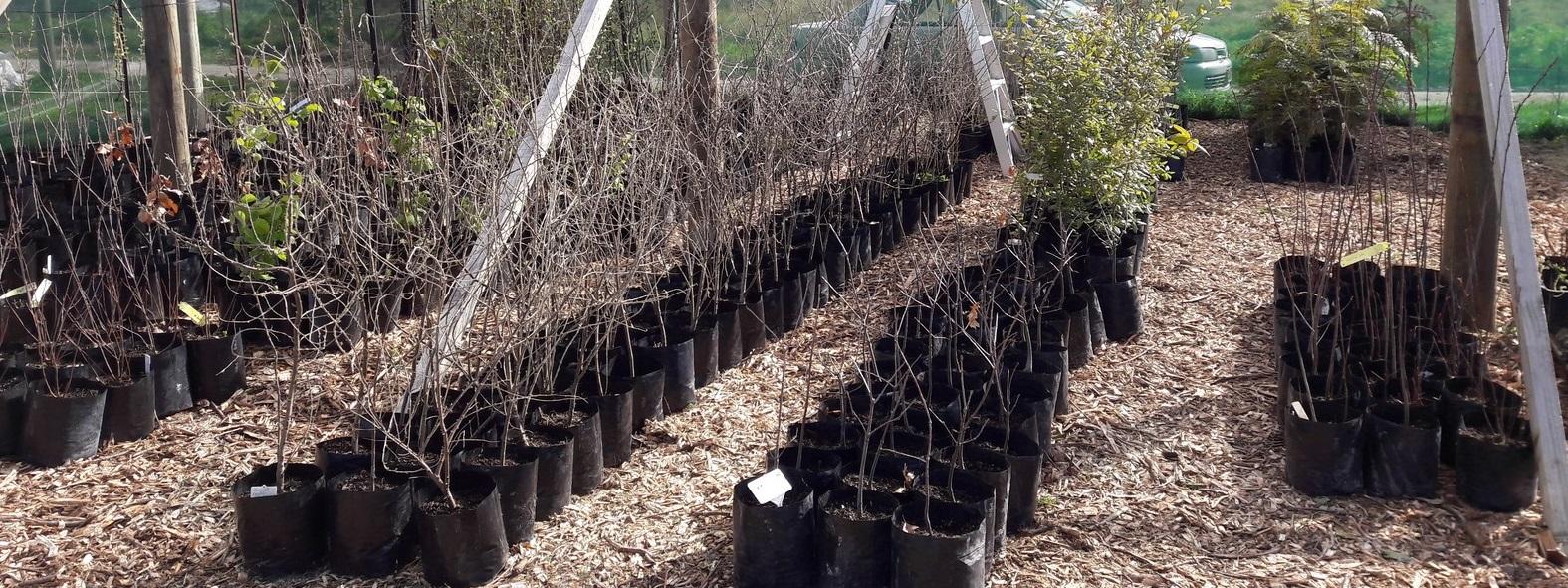 kahikatea-farm-tree-nursery