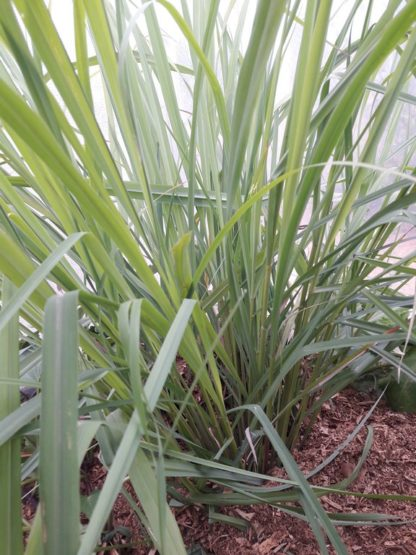 lemongrass-plant-kahikatea-farm