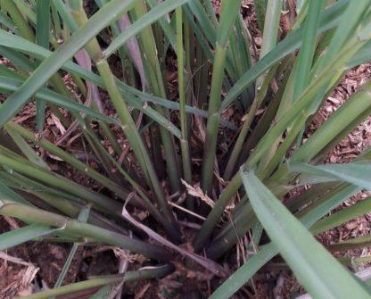 lemongrass-stalks-kahikatea-farm