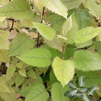 makomako-wineberry-plants-kahikatea-farm
