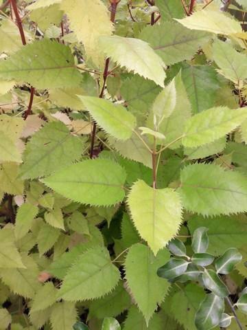 makomako-wineberry-plants-kahikatea-farm