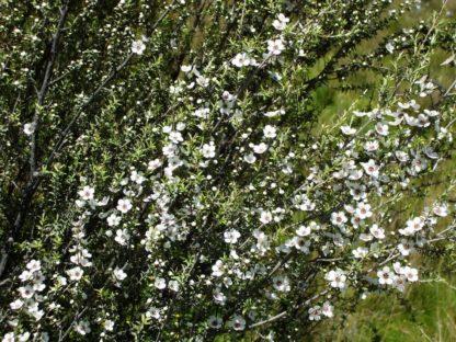 manuka-tree-flowering