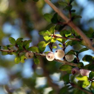 mingimingi-Coprosma-propinqua-berries