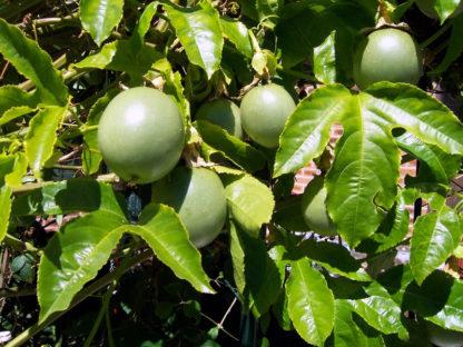 passionfruit-vine