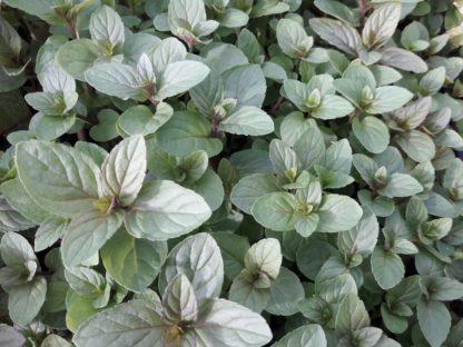 peppermint-plants-kahikatea-farm