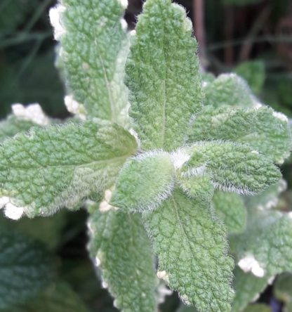 pineapple-mint-variegated-apple-mint-foliage-kahikatea-farm