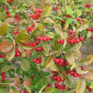 aronia-red-chokeberry