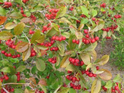 aronia-red-chokeberry