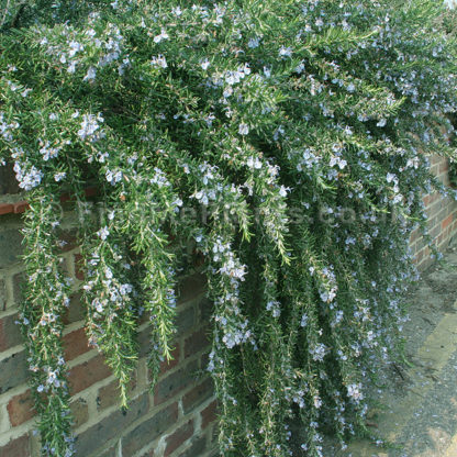 rosemary creeping over wall
