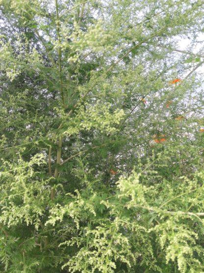 sweet-annie-herb-scented-foliage-kahikatea-farm (2)