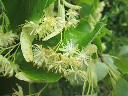 tilia-cordata-small-leaved-lime-linden-tree