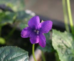 viola-odorata-purple-robe