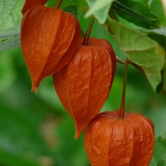 winter ground cherry