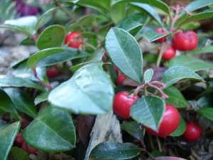 wintergreen-fruit-berries
