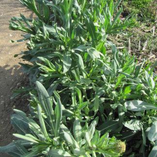 woad-plants