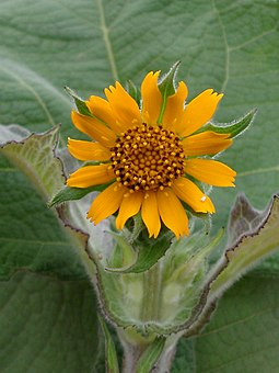 yacon-flower