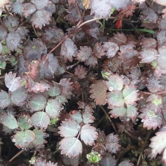 NZ-purple-burr-acaena-kahikatea-farm