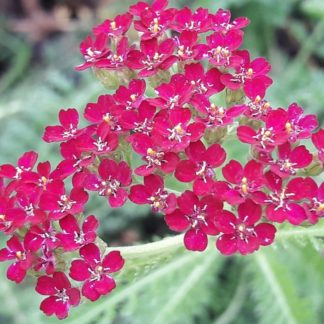 achillea-cerise-flower-kahikatea-farm