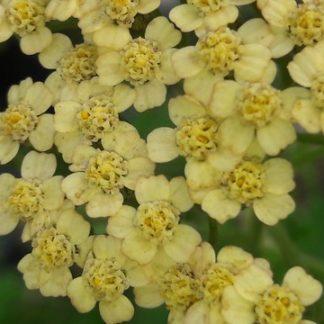 achillea-hope-flower-kahikatea-farm