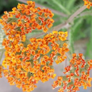 achillea-terracotta-flower-kahikatea-farm