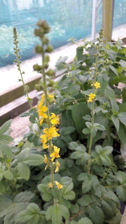 agrimony-potted-plants-kahikatea-farm