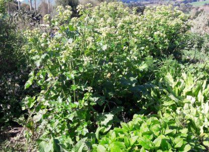 alexanders-flower-kahikatea-farm