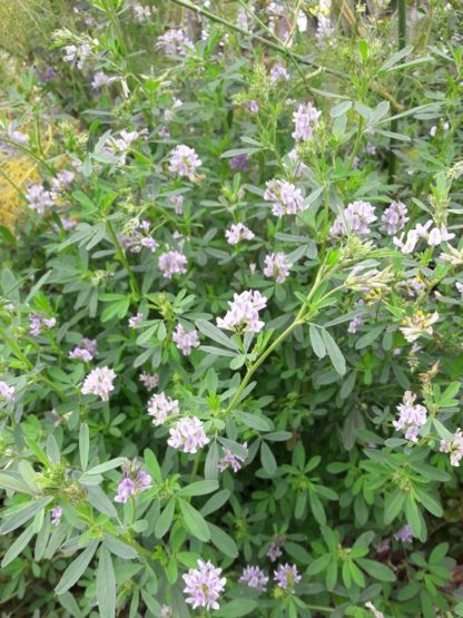 alfalfa-flowers-kahikatea-farm