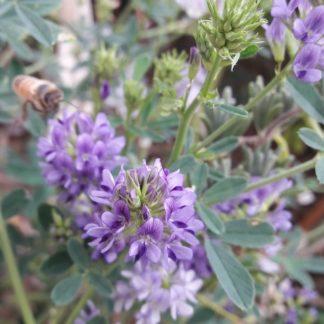 alfalfa-plants-kahikatea-farm