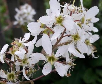 amelanchier-canadensis-canadian-serviceberry- blossom-kahikatea-farm (1)