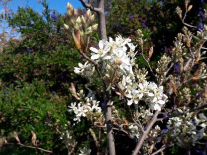 amelanchier-canadensis-canadian-serviceberry- blossom-kahikatea-farm (2)