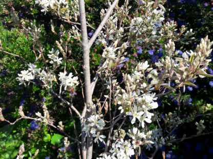 amelanchier-canadensis-canadian-serviceberry- blossom-kahikatea-farm (4)