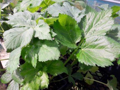 angelica-leaf-kahikatea-farm