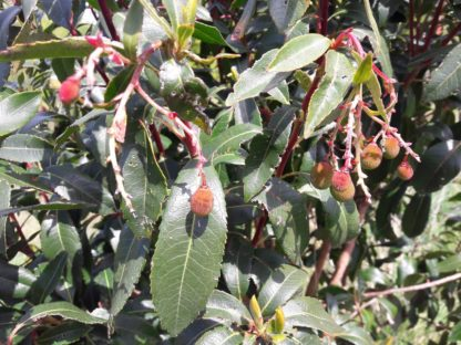arbutus-unido-irish-strawberry-kahikatea-farm