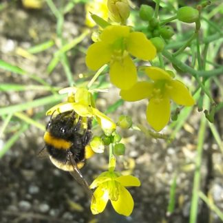 arugula-flower-bumblebee-kahikatea-farm