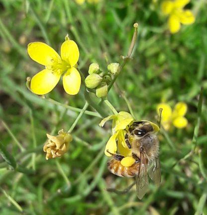 arugula-flower-honeybee-kahikatea-farm