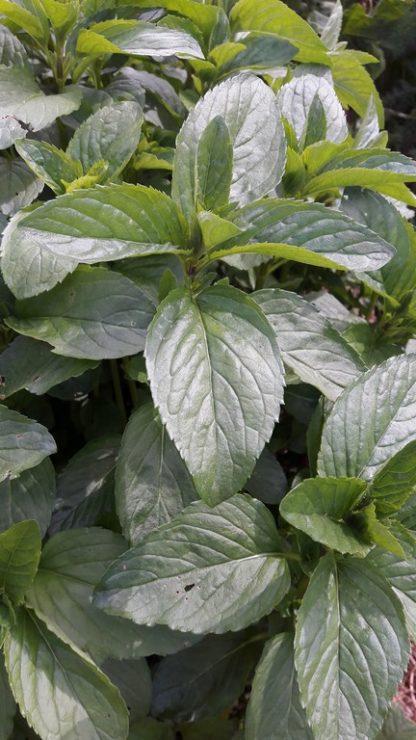 basil-mint-leaf-kahikatea-farm