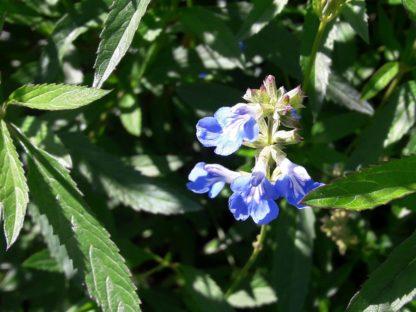 bog-sage-flower-kahikatea-farm