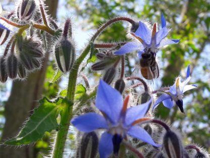 borage-blue-kahikatea-farm (2)