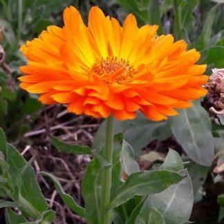 calendula-orange-kahikatea-farm